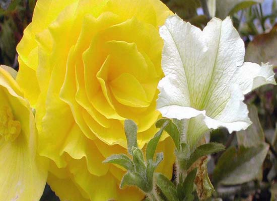 A yellow rose and white petunia